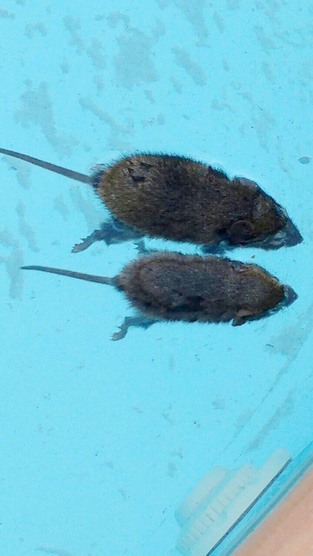 Ratos silvestres invadiram as casas e as cobras vieram atrás, também em busca de alimento