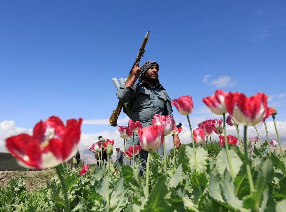 Policial afegão participa da operação de destruição de plantações de papoula na província de Jalalabad