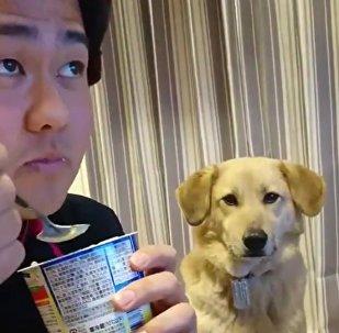 Cachorrinho faz sucesso pela timidez em pedir iogurte para o dono