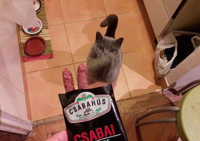 Gato aperfeiçoa arte de pedir comida