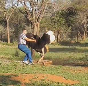 Avestruz gigante enfurecido ataca homem