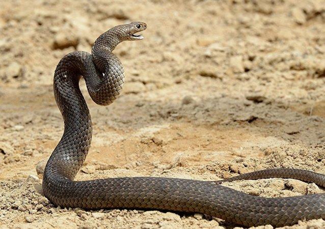 Cobra venenosa conhecida mais como cobra-marrom