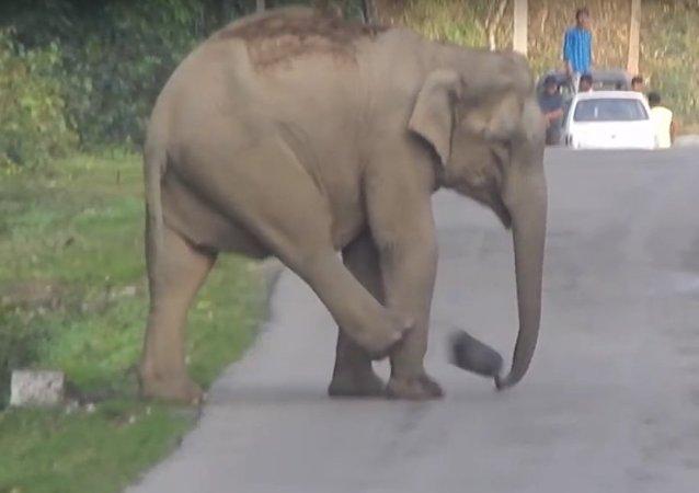 Filhote de elefante estava tão empolgado com seu jogo que parou o tráfico por cerca de meia hora