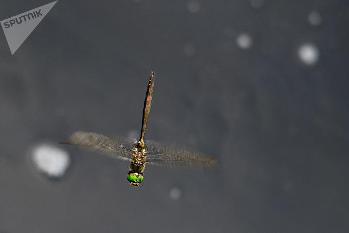 Libélula está voando