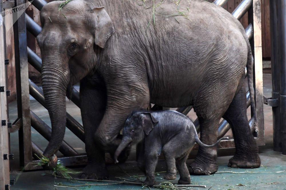 Elefante bebé que nasceu no Jardim Zoológico de Moscou