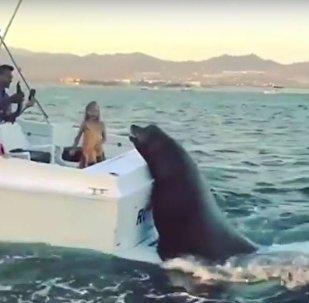 Foca gigante sobe a barco para reclamar comida