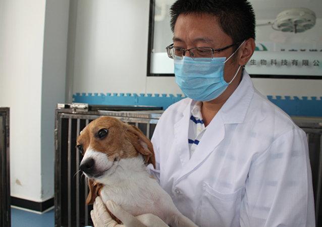 Um cachorro-clone do laboratório da empresa de biotecnologia SinoGene