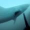 Homem caça grande tubarão branco