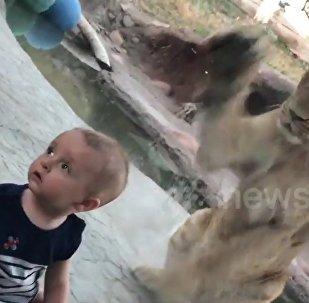 Atenção, leão ataca!
