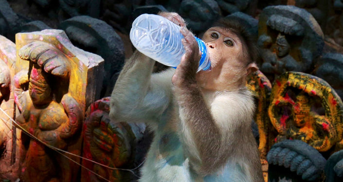 Um macaco bebê bebe leite durante o festival hindu de Nag Panchami, na Índia