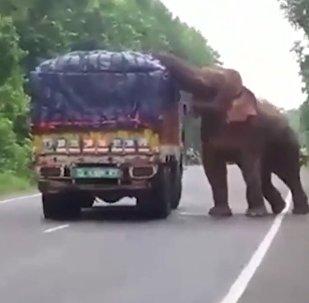 No estado de Bengala Ocidental, Índia, o elefante adulto foi captado por motoristas quando tentava roubar comida de um caminhão