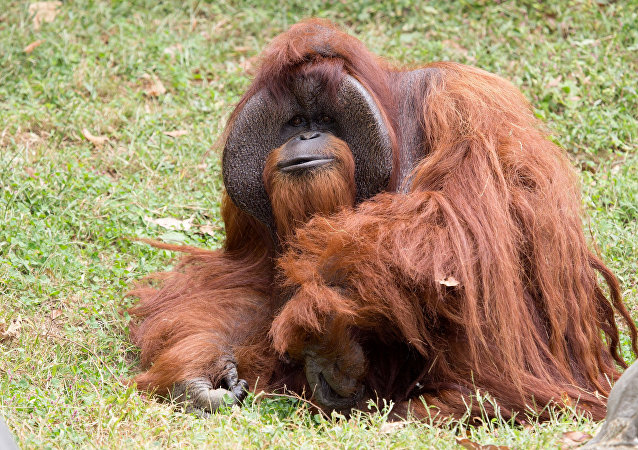 Zoo Atlanta photo shows Chantek the orangutan after the passing of the male orangutan who was among the first apes to learn sign language, in this photo released on social media in Atlanta, Georgia, U.S., August 7, 2017