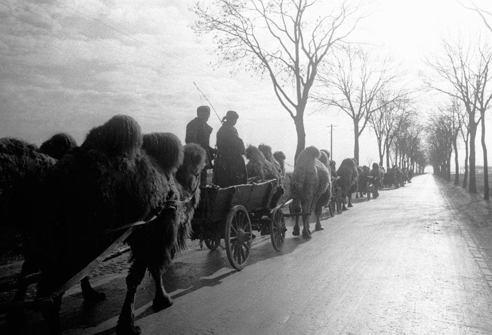 Coluna de camelos na periferia de Berlim