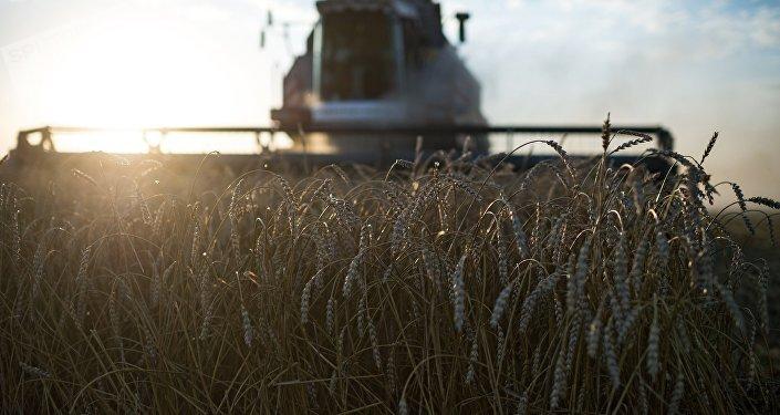 Colheita de trigo (foto de arquivo)