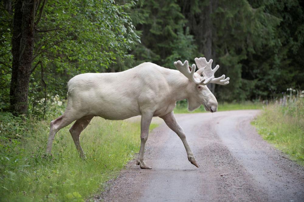 Um alce branco muito raro, Varmland, Suécia