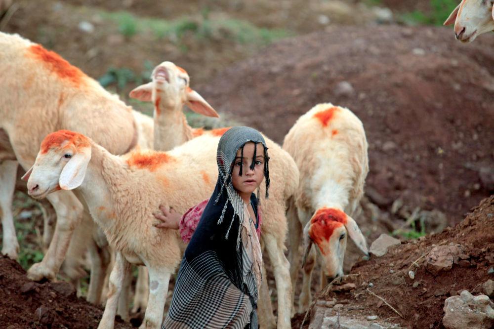 Menina com ovelhas no Afeganistão