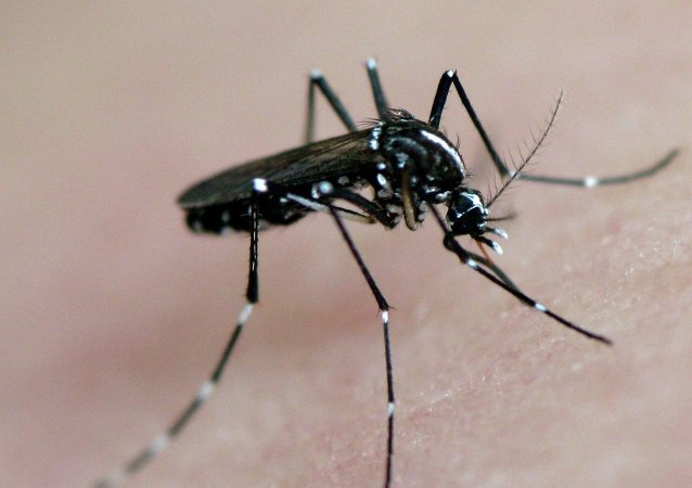Mosquito transmite dengue, chikungunya e zika