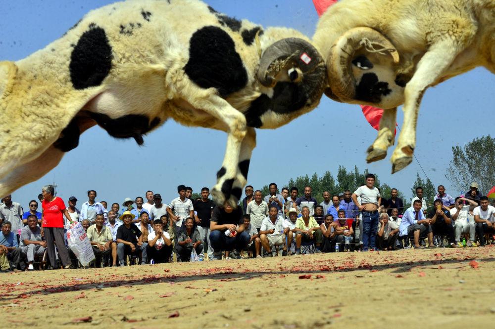 Dois carneiros brigam enquanto os espetadores assistem à respectiva competição na aldeia de Liaocheng, na China