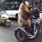 Urso em motocicleta – bem-vindos à Rússia!