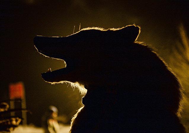 Veterinário disse que as marcas encontradas em restos mortais da ativista combinavam com mordidas de lobo
