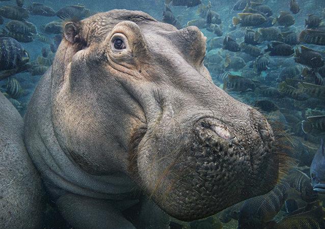 Hipopótamo em água (imagem referencial)
