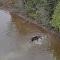 Batalha pela vida: lobo ataca alce em lago canadense