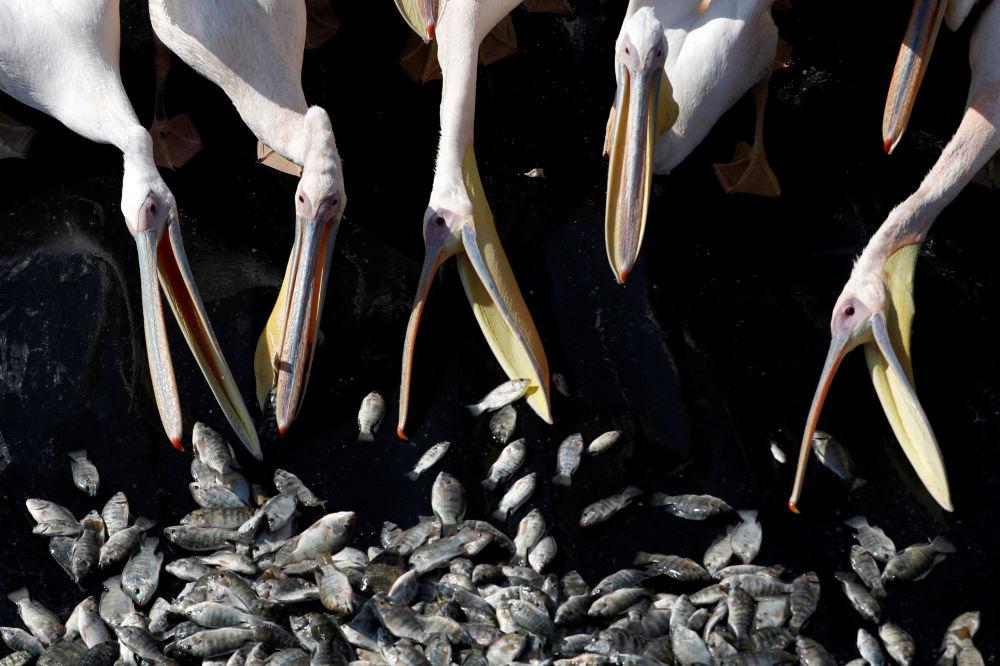 Alimentação de pelicanos em uma represa em Israel