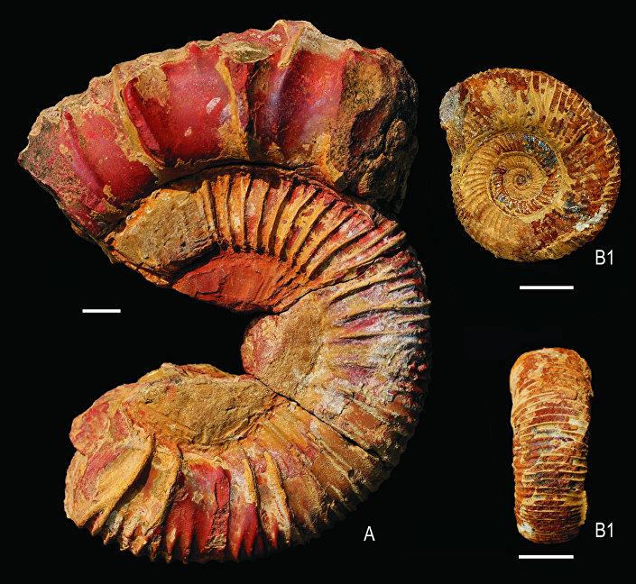 Restos de molusco encontrado junto com o fóssil deste réptil na Índia