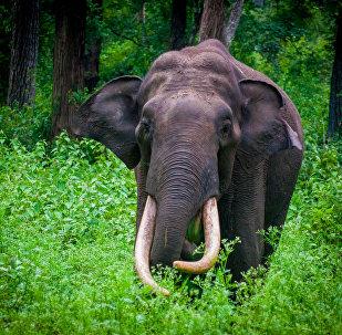 Um elefante