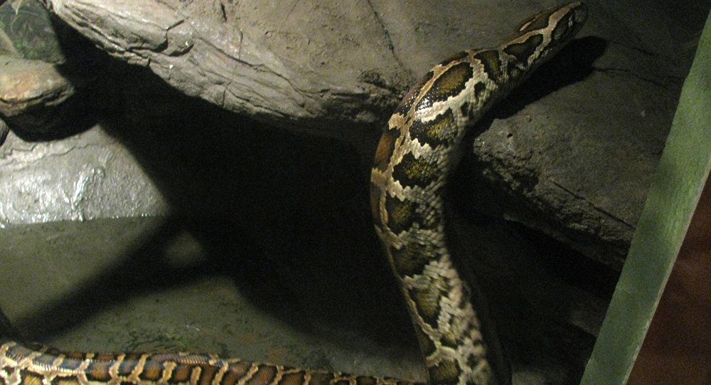 Cobra vomita lagarto de 15 kg em picape — Vídeo