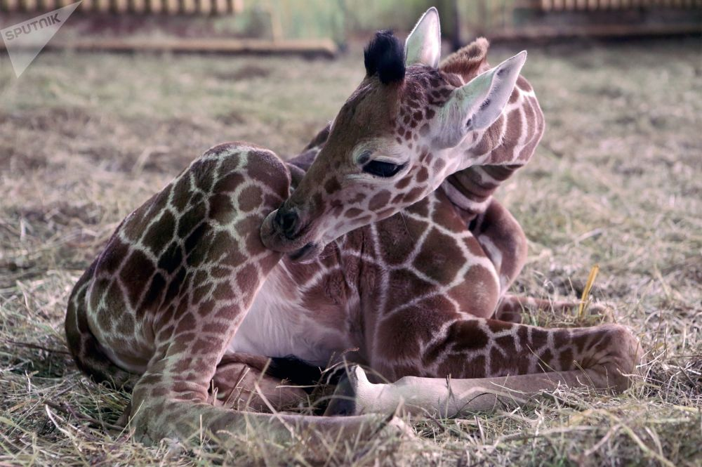 Pequena girafa nasce no Jardim Zoológico de Kaliningrado, Rússia